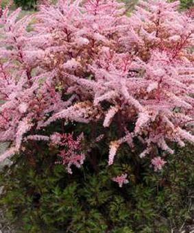 Astilbe arendsii 'Delft Lace'