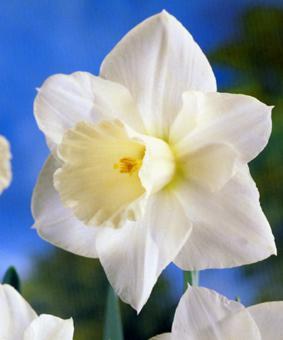 Narcissus 'Desdemona'