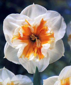 Narcissus 'Dolly Molinger'