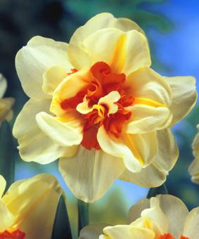 Narcissus 'Double Fashion'
