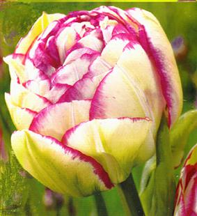Tulip DBL 'Double Touch'