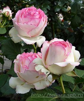 Роза 'Eden Rose 85' (syn. 'Pierre de Ronsard')
