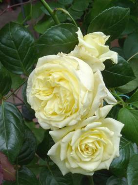 Роза 'Elfe'