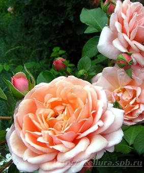 Роза 'Elizabeth Stuart'