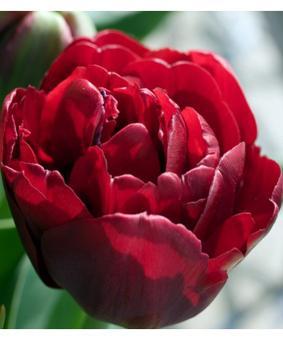 Tulip TR 'Charade'