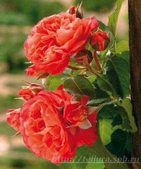 Роза 'Emilien Guillot'