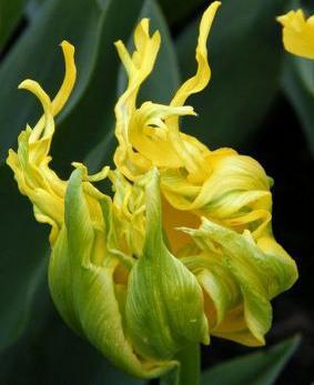 Tulip DBL 'Monte Spider'