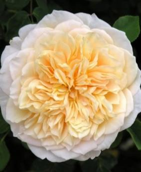 Роза 'English Garden'