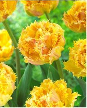 Tulip FR 'Esprit'