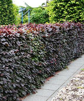 Physocarpus opulifolius 'Purpureus'