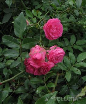 Роза 'Fairy Changelling'