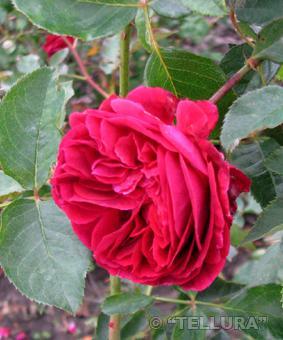 Роза 'Falstaff'