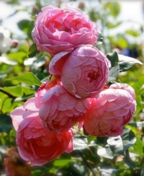 Роза 'Financial Times Centenary