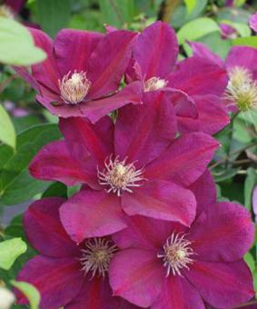Clematis 'Firefly'