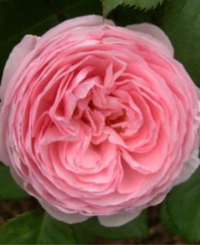 Роза 'Geoff Hamilton'