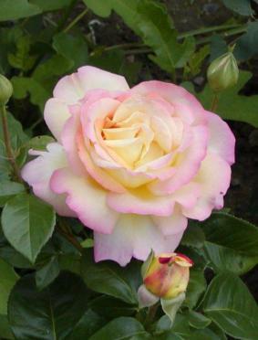 Роза 'Gloria Dei Climber'
