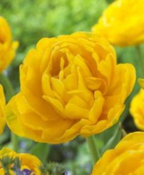 Tulip DE 'Gold Fever'