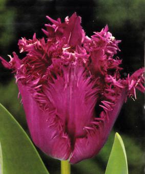 Tulip FR 'Gorilla'