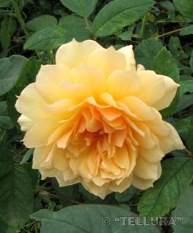 Роза 'Grace'