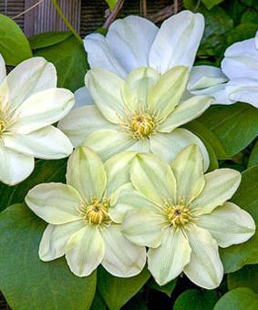 Clematis Guensey Cream фото и описание