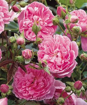Роза 'Harlow Carr'
