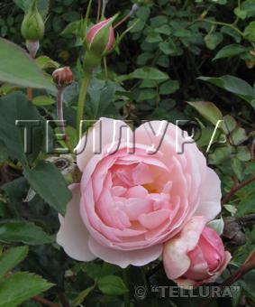Роза 'Heritage'