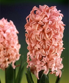 Hyacinth 'Lady Derby'