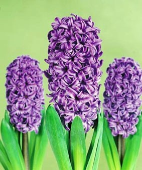 Hyacinth 'Atlantic'