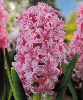 Hyacinth 'Broadway'