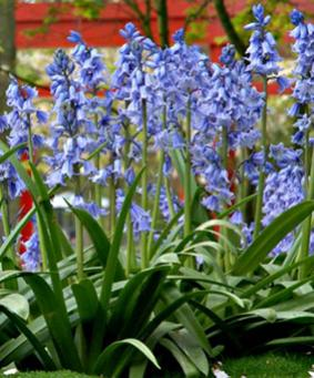 Hyacinthoides Blue