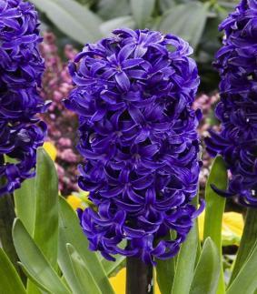 Hyacinth 'Aida'