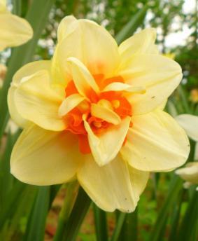 Narcissus DBL 'Innovator'