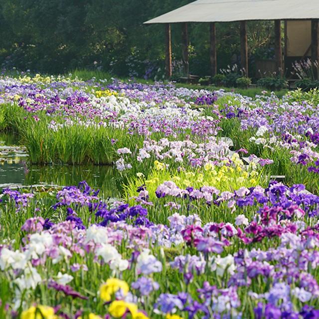 японские ирисы в садах