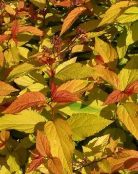 Spiraea japonica 'Goldflame'