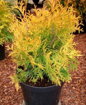 Thuja occidentalis yellow mix