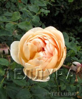 Роза 'Jude de Obscure'