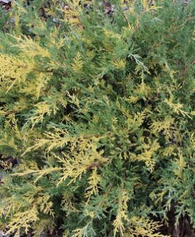 Juniperus x pfitzeriana 'Blue and Gold'