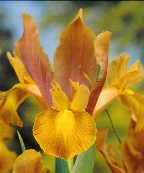 Iris Bronze Beauty