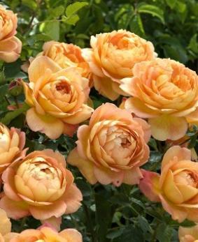 Роза 'Lady of Shalott'