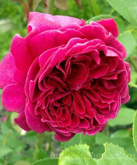 Роза 'Leonard Dudley Braithwait'