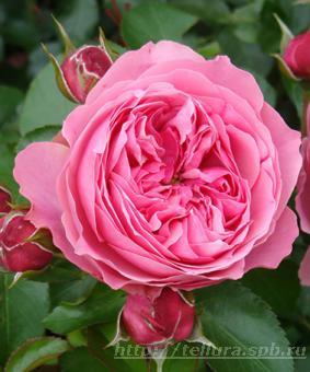 Роза 'Leonardo da Vinci'