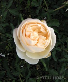 Роза 'Lichfield Angel'