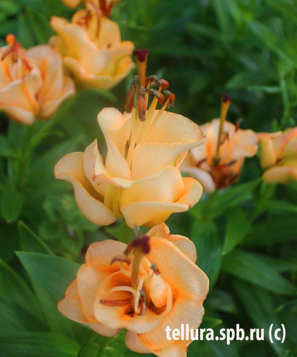 Lilium la Apricot Fudge