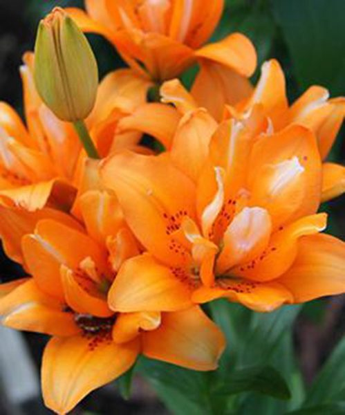 Lilium az Orange Twins