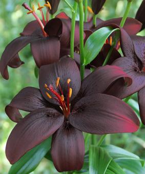 Lilium az Royal Kiss