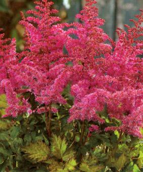 Astilbe chinensis 'Love and Pride'