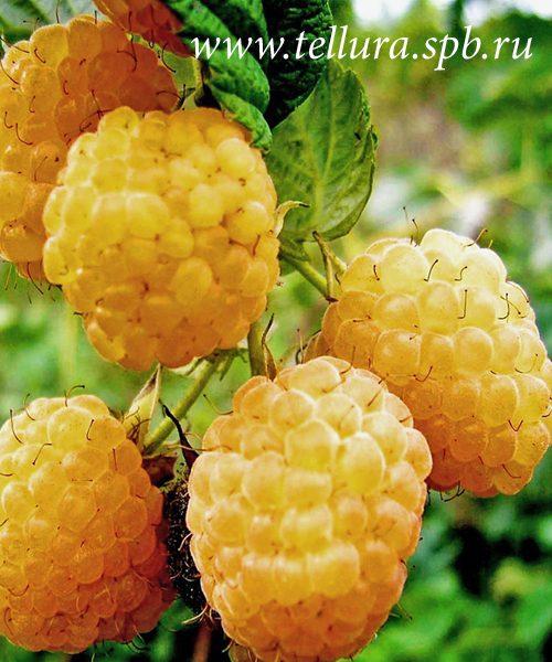 Крупноплодная малина Желтый Гигант купить