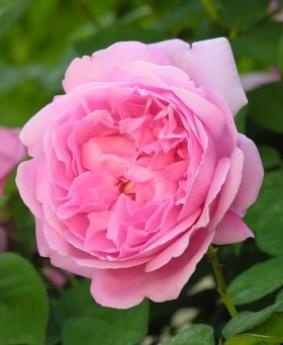 Роза 'Mary Rose'