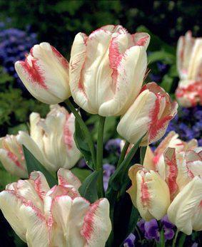 Tulip BUN 'Toucan'