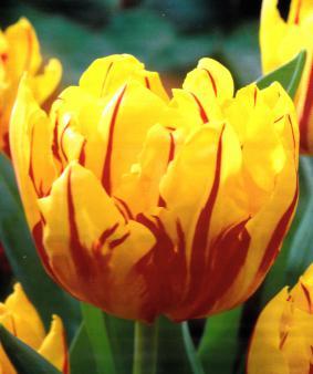 Tulip DBL 'Monte Feu'